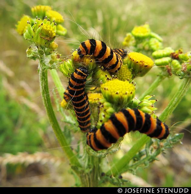 20150711_17 Cinnabar moth (Tyria jacobaeae) caterpillars | Trail between Herrvik & Sysne, Gotland, Sweden