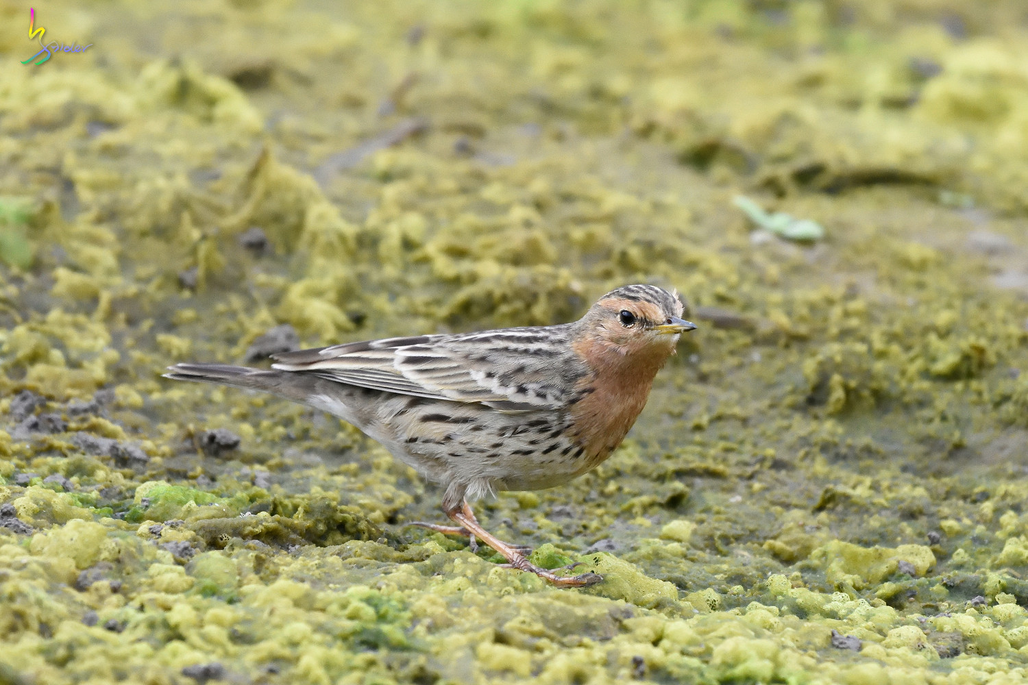Red-throated_Pipit_6703