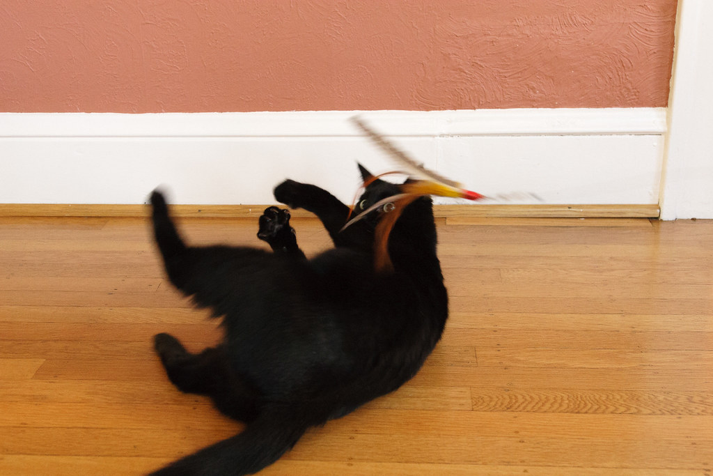 Our cat Emma tries to catch her feathered cat toy but misses