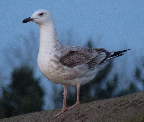 Caspian Gull Larus cachinnans Tophill Low NR, East Yorkshire November 2017