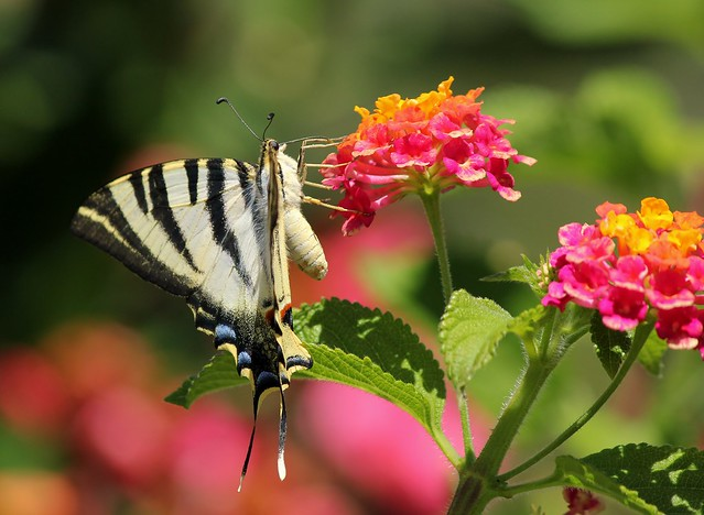 Swallowtail in Portugal