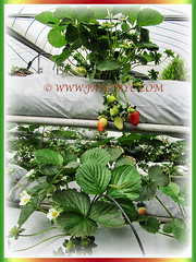 Fragaria x ananassa (Strawberry, Garden Strawberry, Cultivated Strawberry) can grow up to about 10-20 m high and spread to about 50-100 cm, 1 March 2016