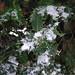 Snow & Holly