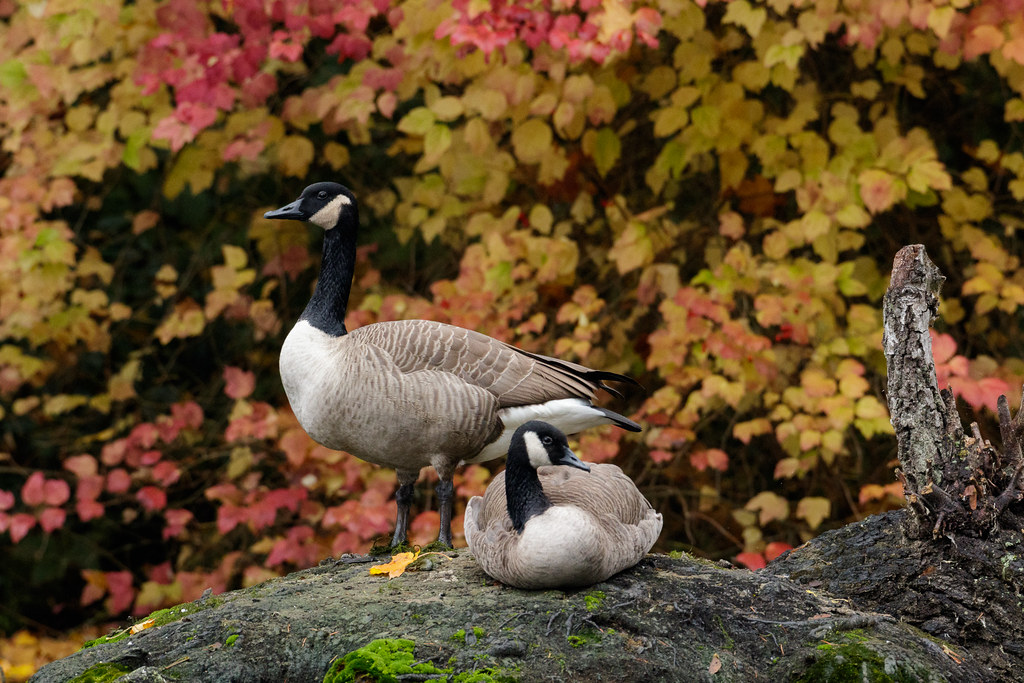 A pair of Canada geese rest on a fallen tree in front of colorful leaves on a fall morning at Crystal Springs Rhododendron Garden in Portland, Oregon