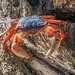 Red Intertidal Crab by gecko47