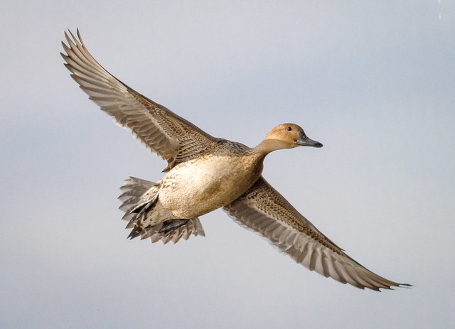 Northern Pintail Hen landing