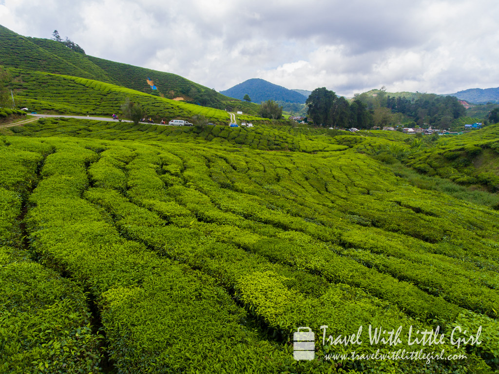 A view on top of the tea plantation