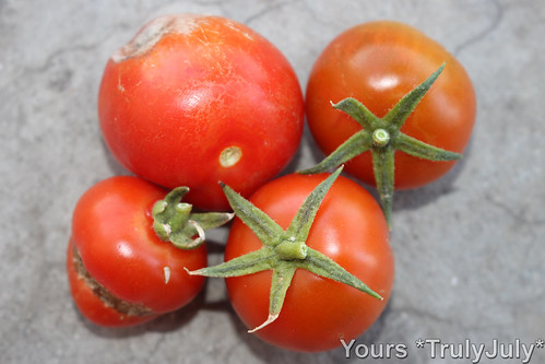 These tomatoes grew themselves - with a little help from our rats.
