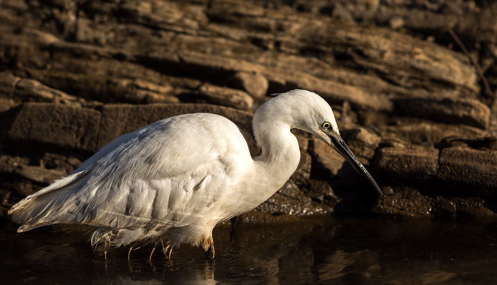 Little Egret - Garça-branca-pequena