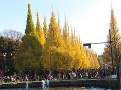 Ginkgo Trees in Jingu Gaien