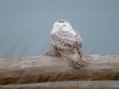 Snowy Owl, Headlands Beach S.P., OH 12/2/2017