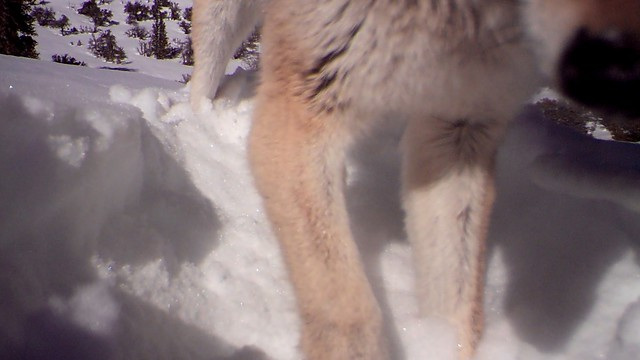 coyote digging out cam trap