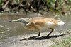 Ardeola ralloides (Squacco Heron) - South Africa by Nick Dean1