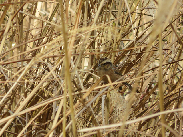 Rustic bunting. Female