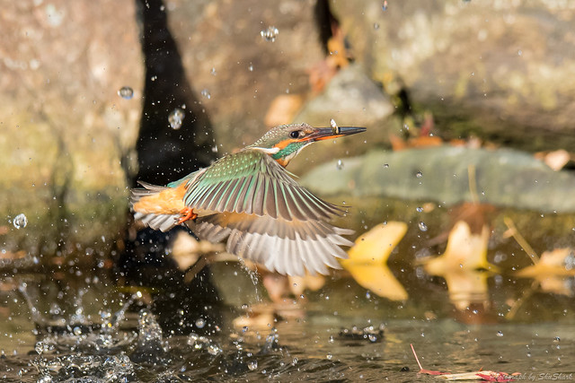 20171210-kingfisher-DSC_0597