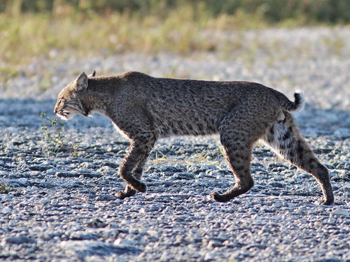 Bobcat 07-20171110