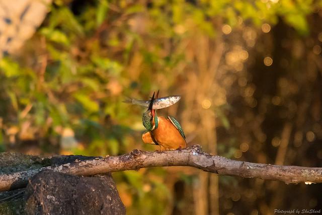 20171111-kingfisher-DSC_7129