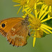 Pyronia tithonus - the Gatekeeper (male)