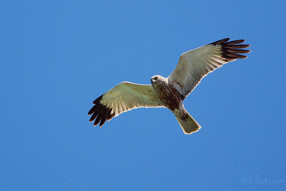 Roo, loorkull, Circus, aeruginosus, Western, Marsh-harrier, Marsh, Harrier, Eurasian, Estonia, Kaido Rummel