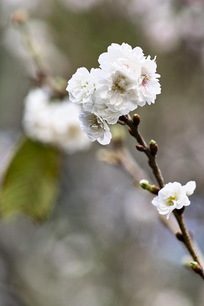 Prunus x kobuku-zakura