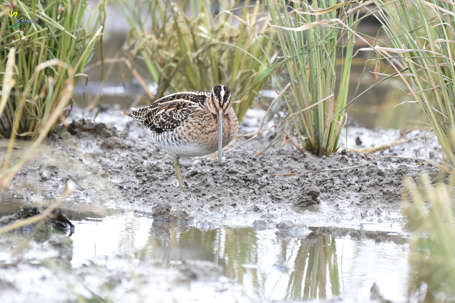 Common_Snipe_7235