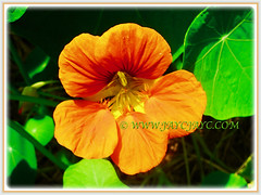 Captivating orange blossom of Tropaeolum majus (Nasturtium, Garden Nasturtium, Indian Cress, Monks Cress) seen in Cameron Highlands, 1 March 2016