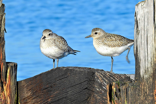 FBF: Black-bellied Plovers