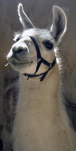 A llama in Argentina