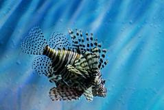 TX State Aquarium-Lion Fish