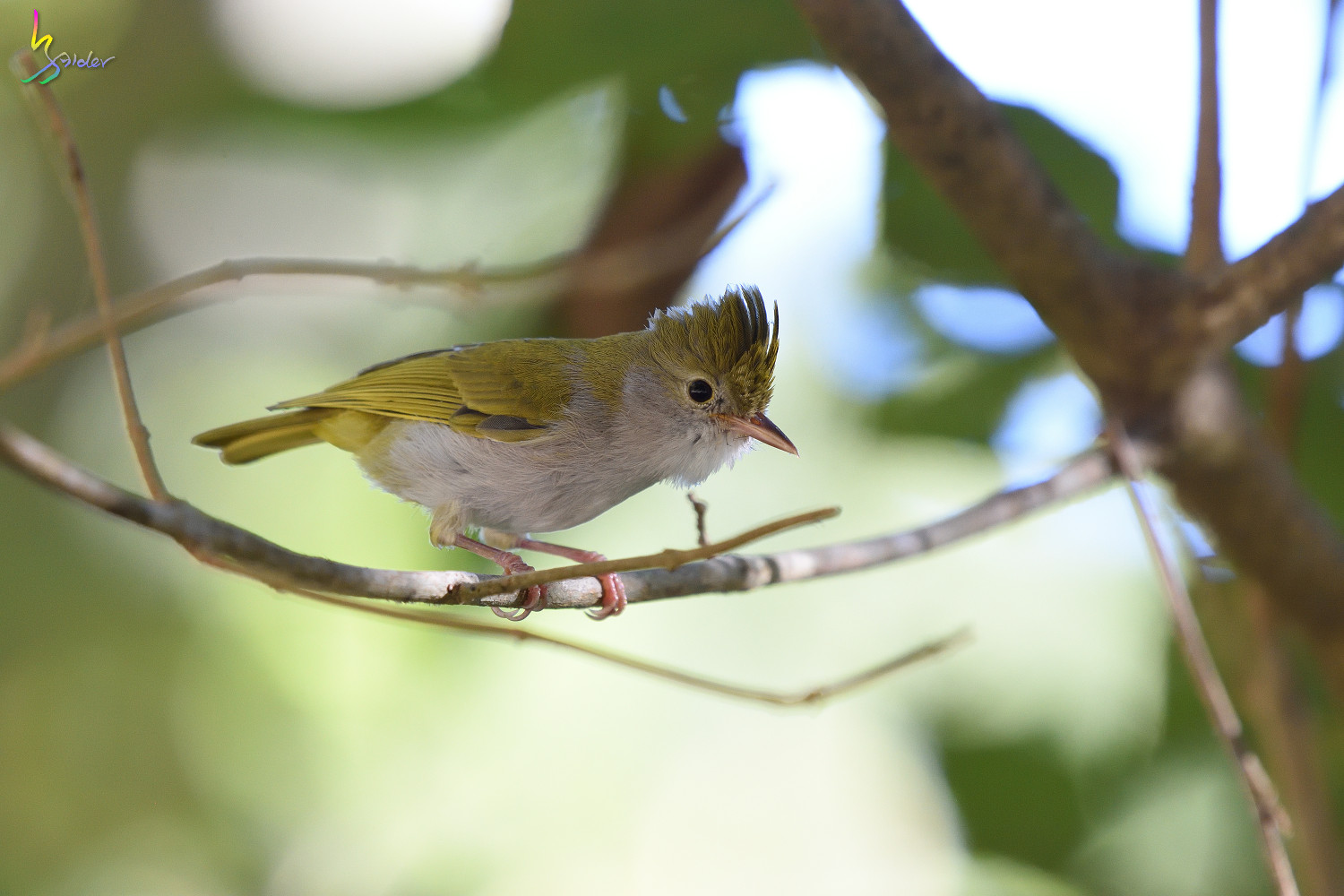 White-bellied_Yuhina_3893