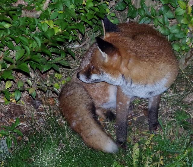 Urban red fox uk garden  (3)