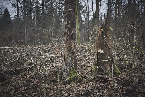Las naturalny w nadleśnictwie Białowieża - po wycince
