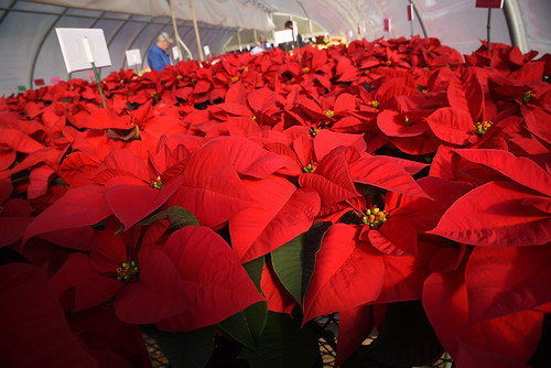 A sea of red poinsettia plants at Poinsettia Field Day at Raulston Arboretum.