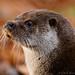 Eurasian Otter - IB260716