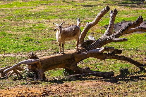 Goat on log - Helena Valley