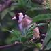 82 Goldfinch