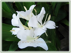 Our captivating butterfly-like showy white flowers of Hedychium coronarium (White Ginger Lily, White Ginger, Butterfly Ginger Lily, Garland Flower), 15 Nov 2017