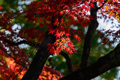 Autumn leaves of Aizu #7