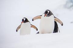 Gentoo Penguins, Half moon Island ,Antarctica