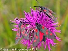 UK & European Butterflies