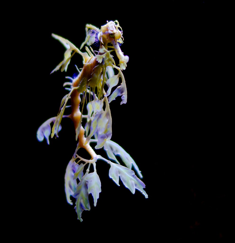 Sea Dragon_1