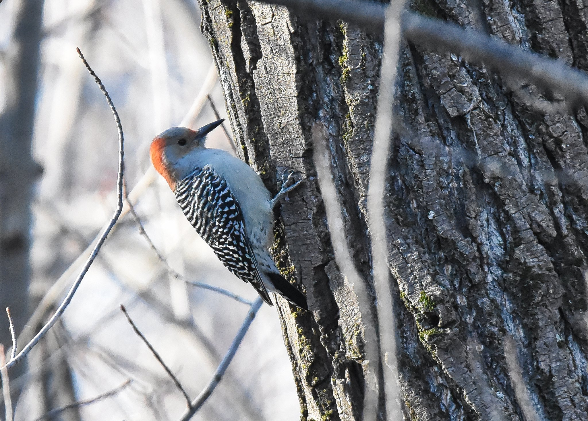 Red-bellied Woodpecker ♂ - Pic à ventre roux ♂ - Melanerpes carolinus (D72_7169-Ladb-20171115)