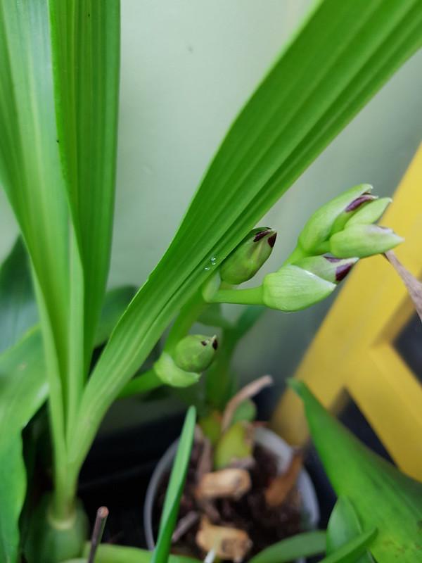 Les orchidées chez Sougriwa 37690316524_732dfc7166_c