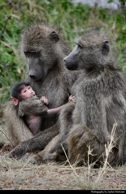 Chacma Baboon Family, Kruger NP, South Africa