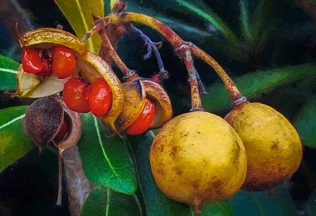 Inedible Orange Seeds