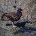 Mendocino Headlands State Park - Beccaccia di mare nera del Nordamerica / Black oystercatcher
