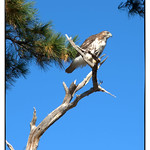 Resting+Hawk