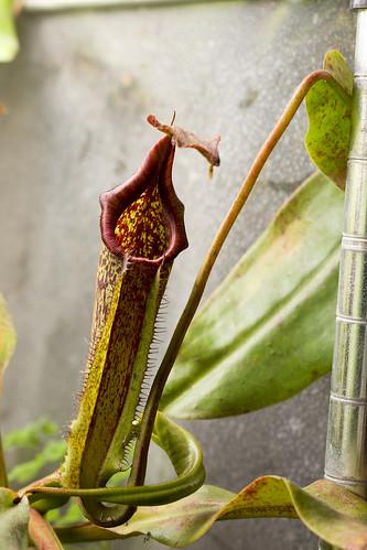 Nepenthes maxima Buyu Lumut BE