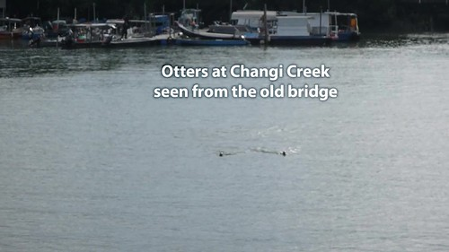 Smooth-coated otters (Lutrogale perspicillata) at Changi Creek