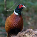 pheasant by colin 1957